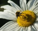 daisybee